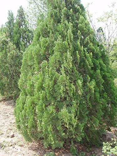 Morgenländische Lebensbaum -Platycladus orientalis- 100 Samen