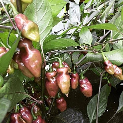 Fidalgo Roxa Chili 10 Samen