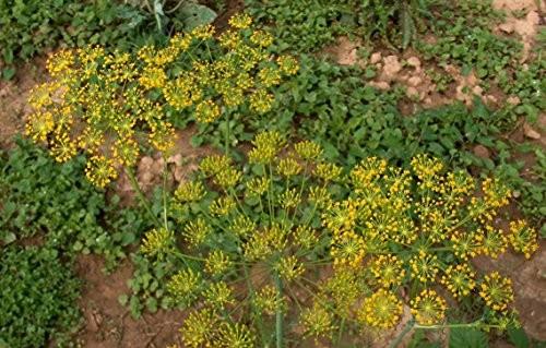 Dill -anethum graveolens- 500 Samen