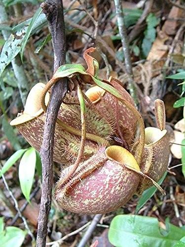 Kannenpflanze -Nepenthes ampullaria- 10 Samen