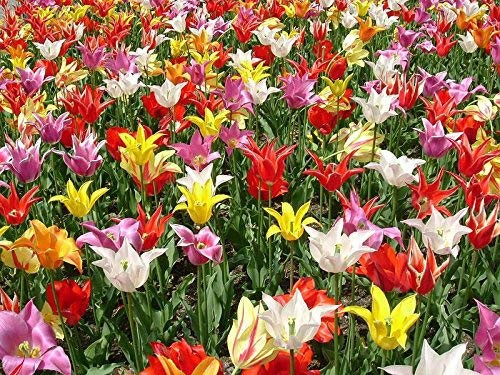 Tulip 50 tubers