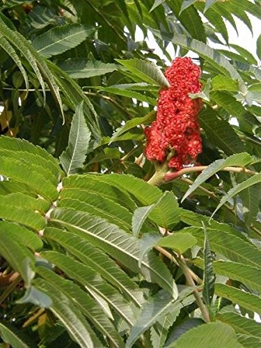 Echter Essigbaum -Rhus typhina- 1000 frische Samen