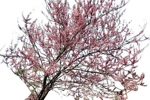 Kanadischer Judasbaum -Cercis canadensis- 10 Samen