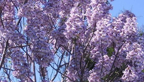 Paulownia -Elongata- 250 Samen
