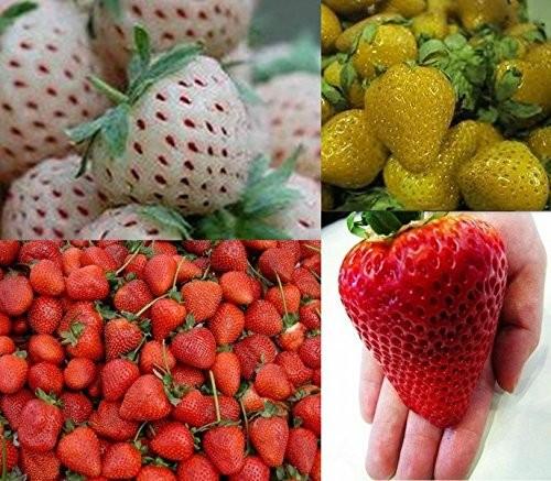 Erdbeeren-Sortiment XXL 80 Samen    Weisse+Gelbe+Rote+Riesenerdbeeren, Die Gartensensation