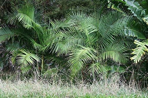 Zuckerrohr Palme -Arenga caudata- 10 Samen