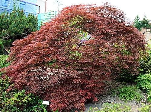 Blutfächer Ahorn -acer palmatum atropurpureum- 5 Samen