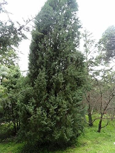 Himalaya-Zypresse -Cupressus torulosa- 100 Samen