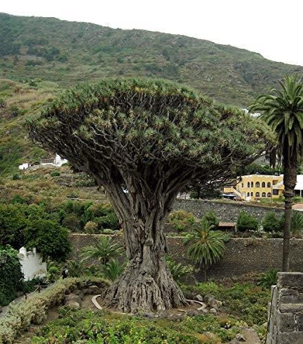 Kanarischer Drachenbaum -Dracaena draco- 10 Samen