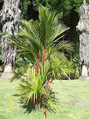 Wunderschöne Rotstiel Palme -Cyrtostachys renda- 10 Samen