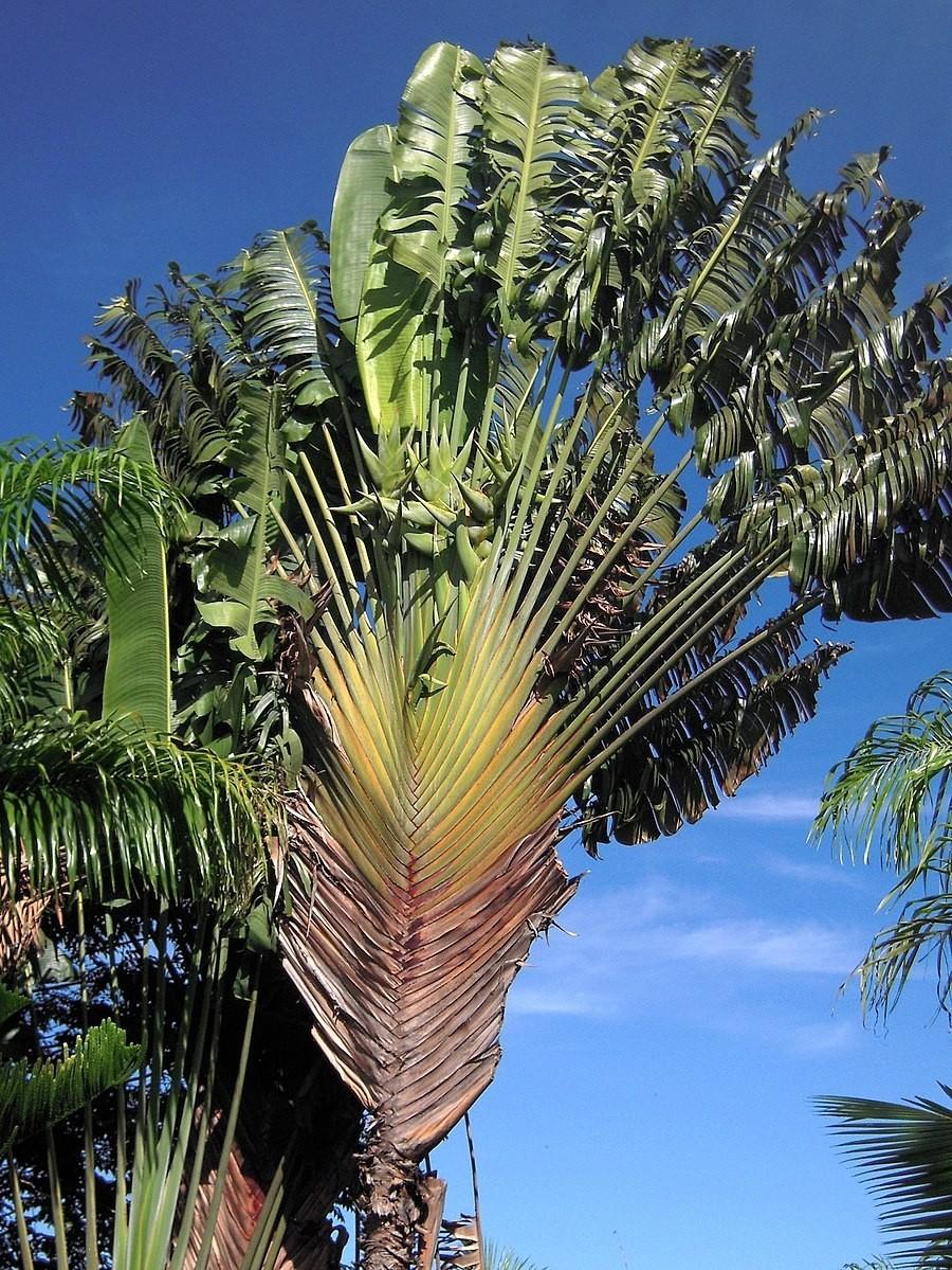 Baum des Reisenden -Ravenala madagascariensis- 10 Samen