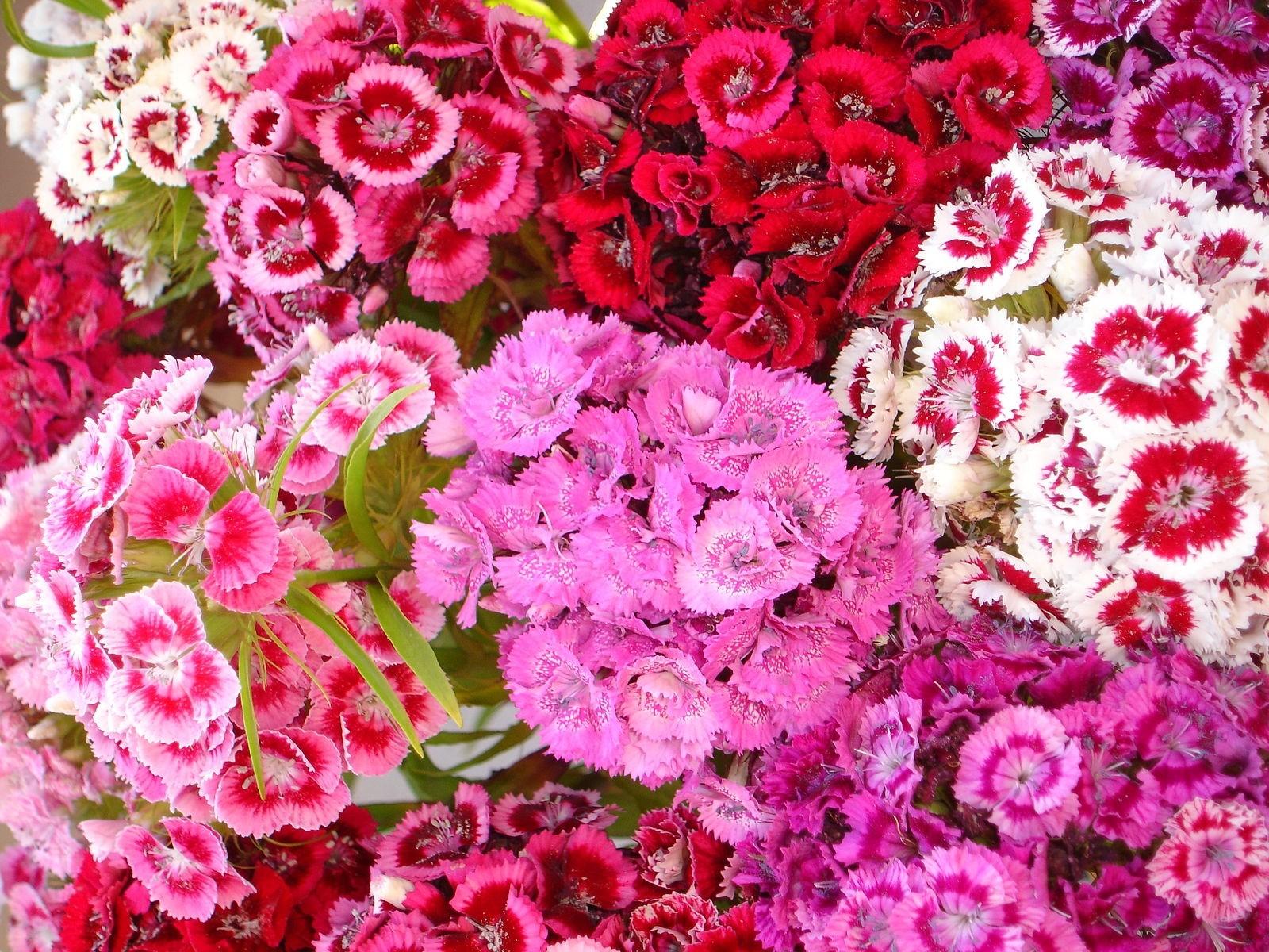 Bartnelken Mischung 200+ Samen -Dianthus barbatus- *