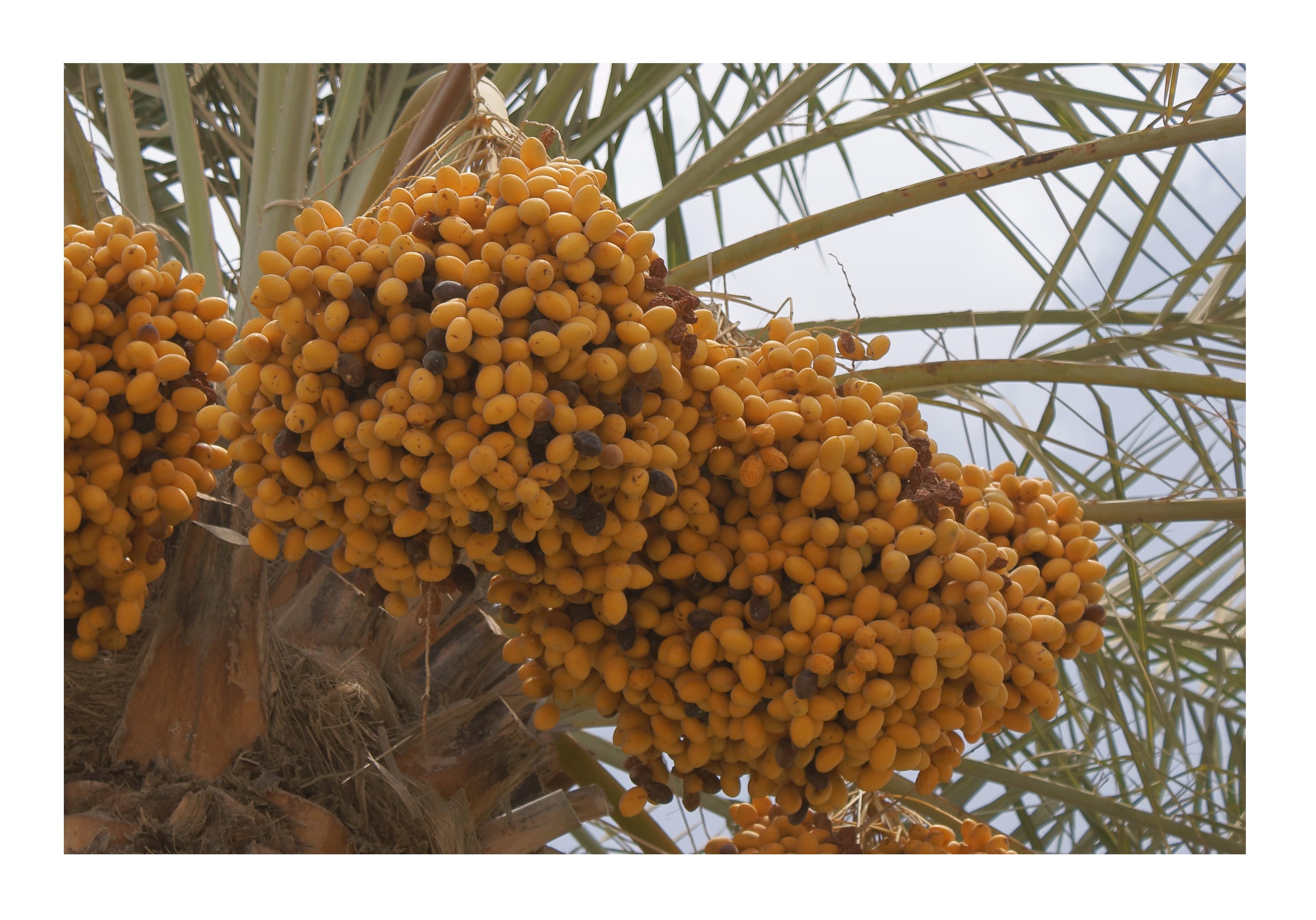 Echte Dattelpalme -Phoenix dactylifera- 15 Samen