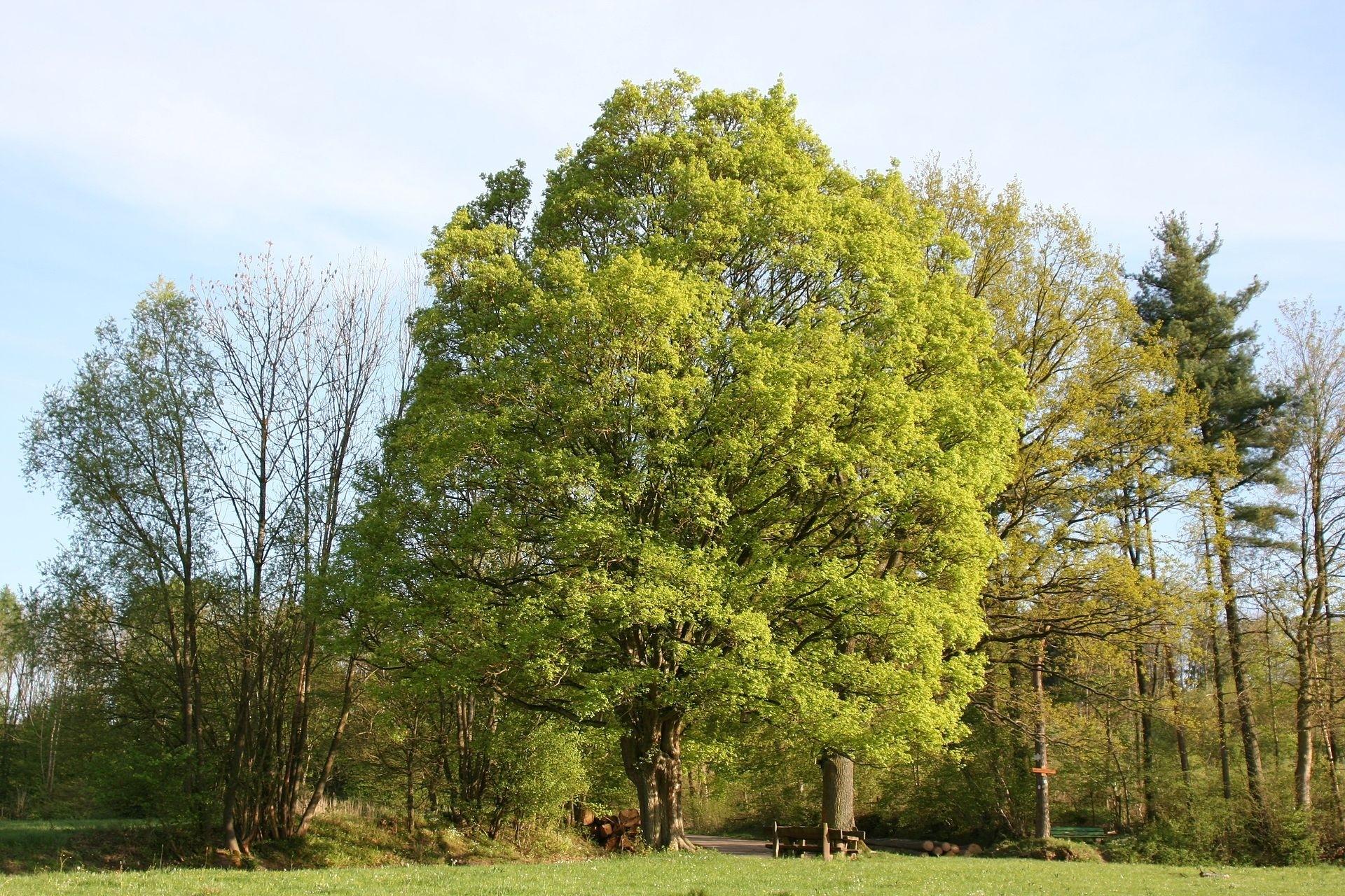 Feldahorn -Acer campestre- 1000 Samen