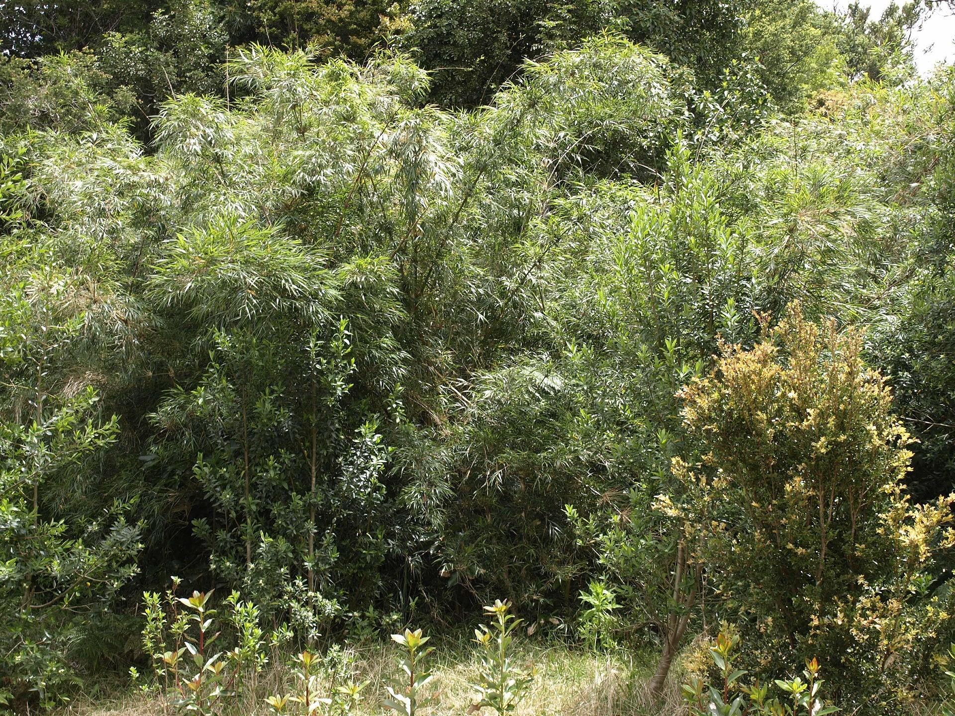 Paramo-Bambus -Chusquea subtessellata- 10 Samen