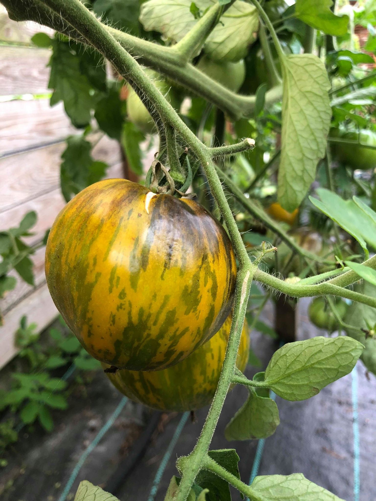 Tomate 'Great Blue' 10 Samen