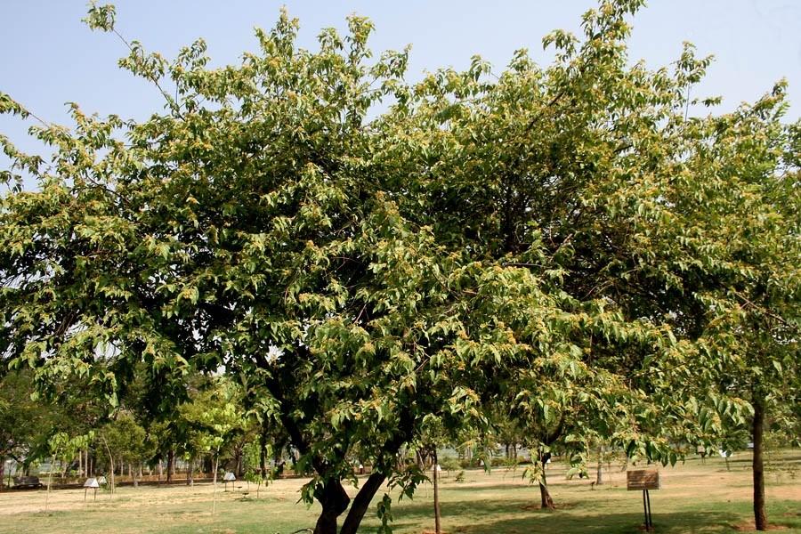 Westindische Ulme -Guazuma ulmifolia- 20 Samen