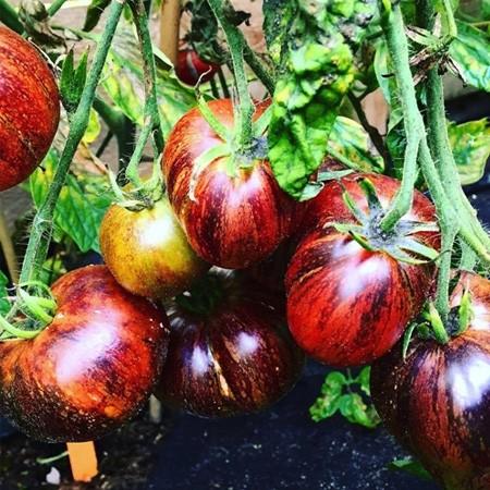 Dark Galaxy Tomate 10 Samen