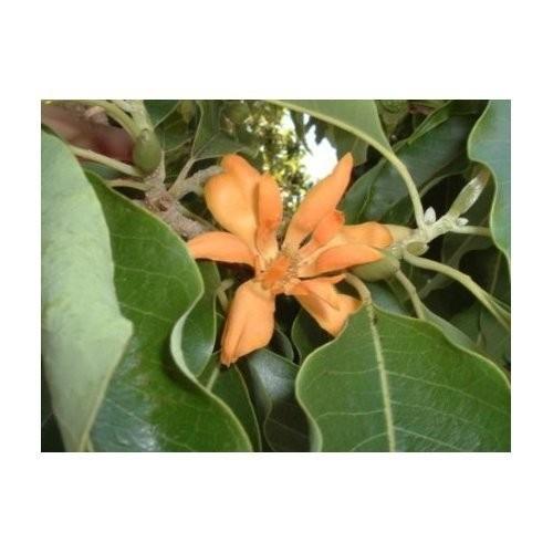 Joy Parfümbaum -Magnolia champaca- 10 Samen