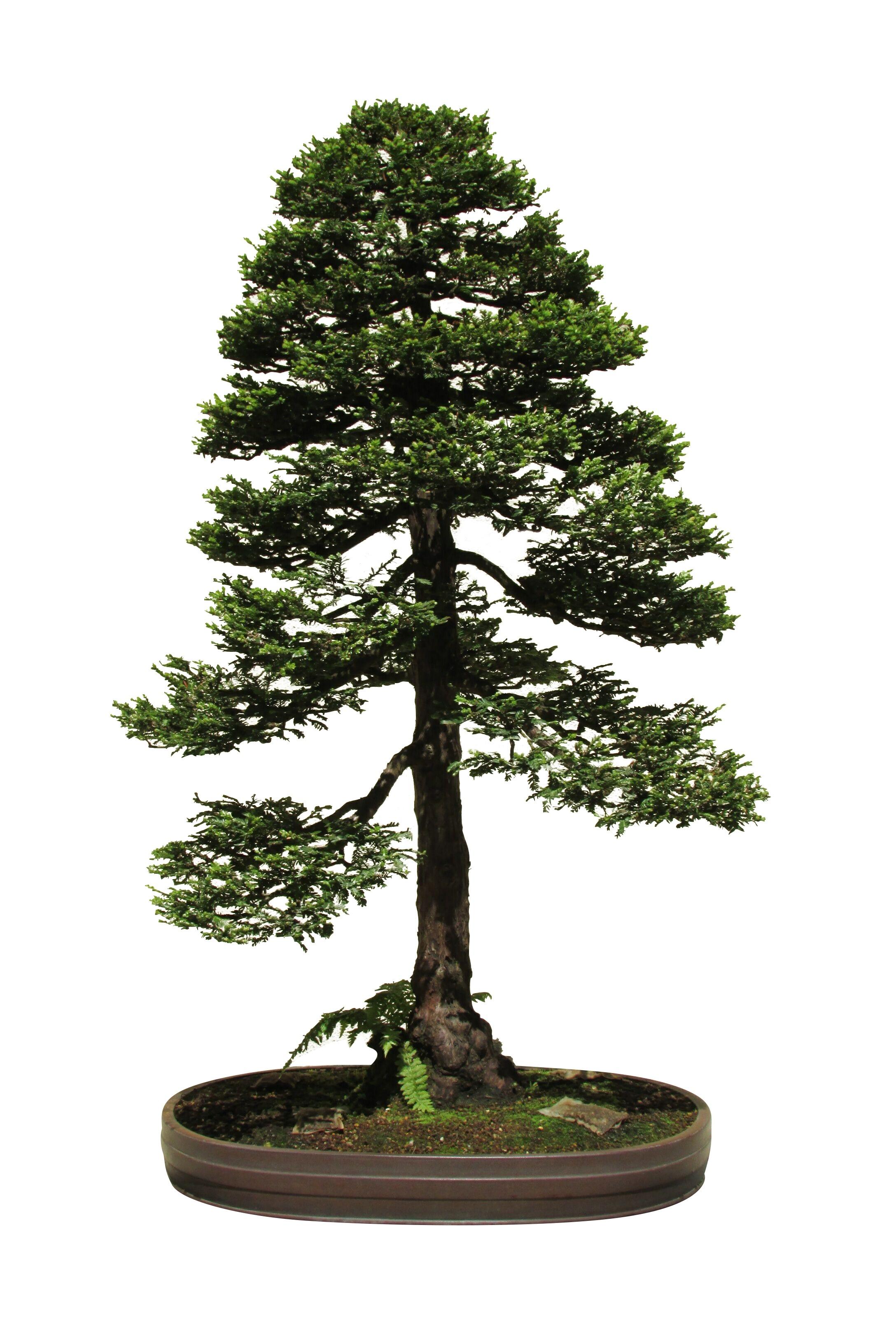Küstenmammutbaum -Sequoia sempervirens- 1.000 Samen