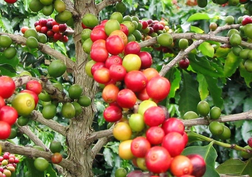 Arabischer Kaffee- -Coffea arabica- 100 Samen