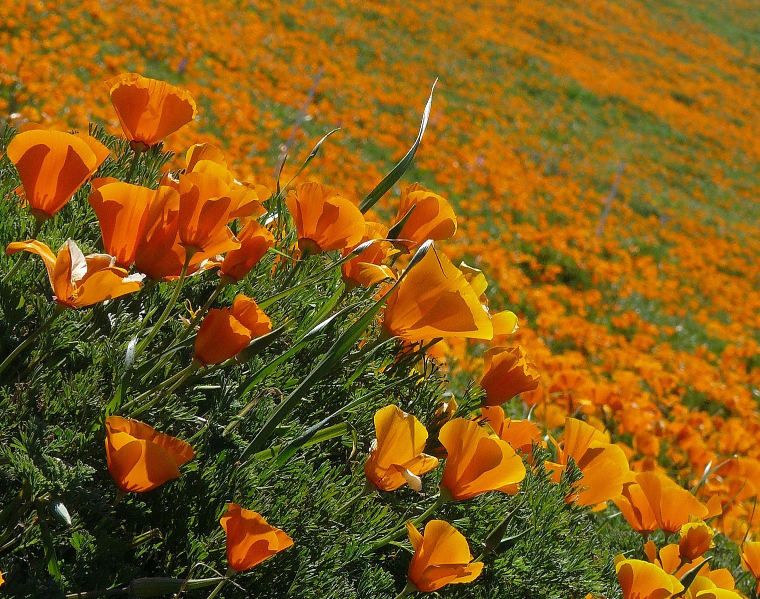 Kalifornischer Mohn 500 Samen