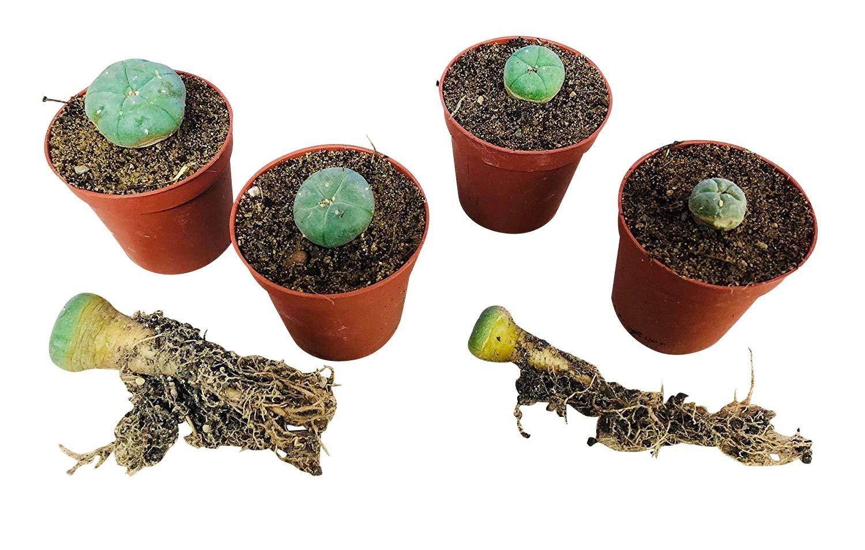 Peyote Lophophora *diffusa var. koehresii* 10 Samen