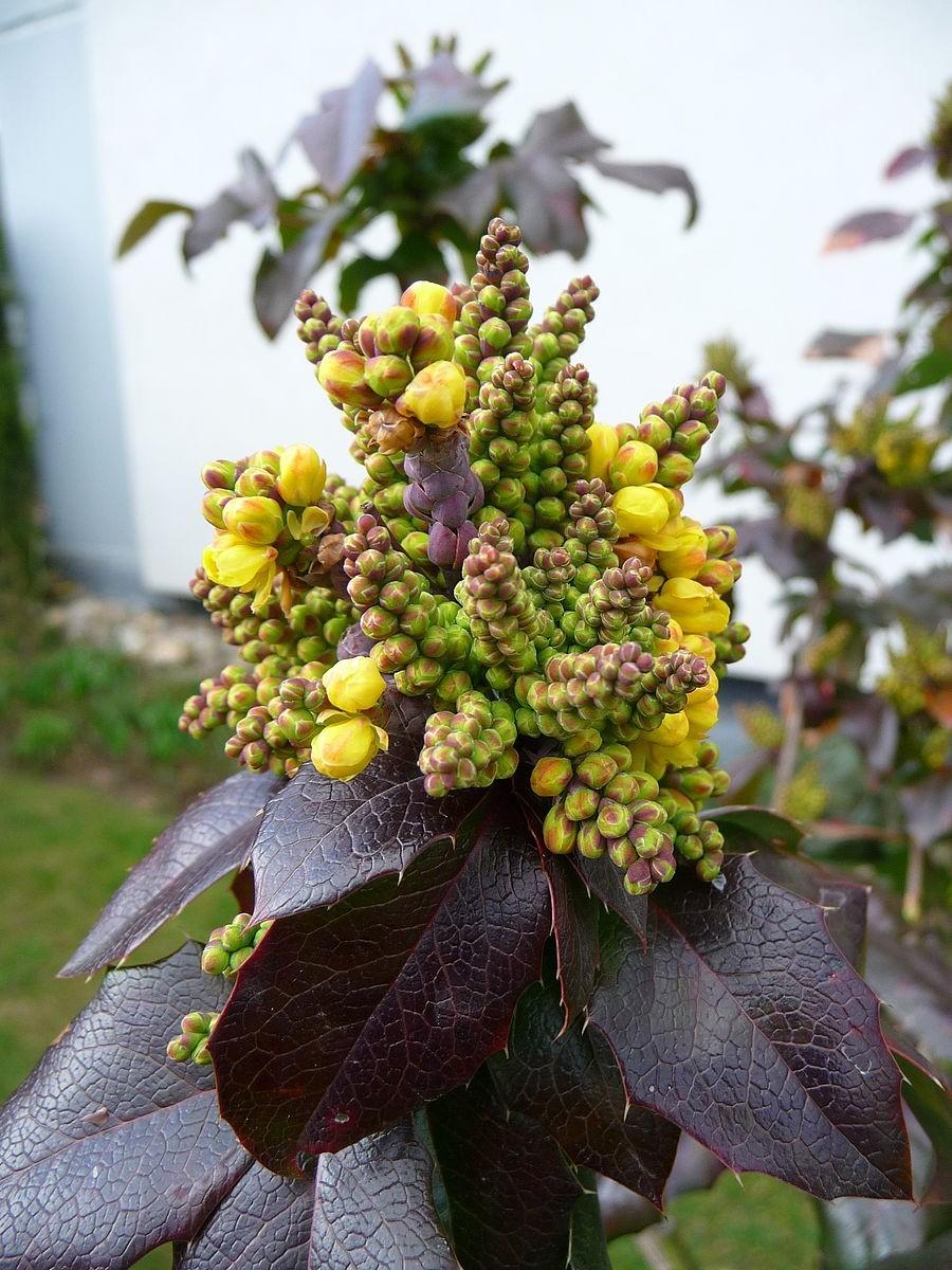 Gewöhnliche  Mahonie -Mahonia aquifolium- 100 Samen