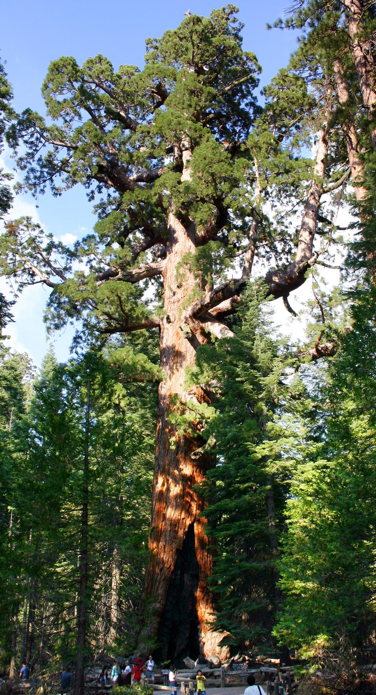 Riesenmammutbaum -Sequoiadendron giganteum- 50 Samen