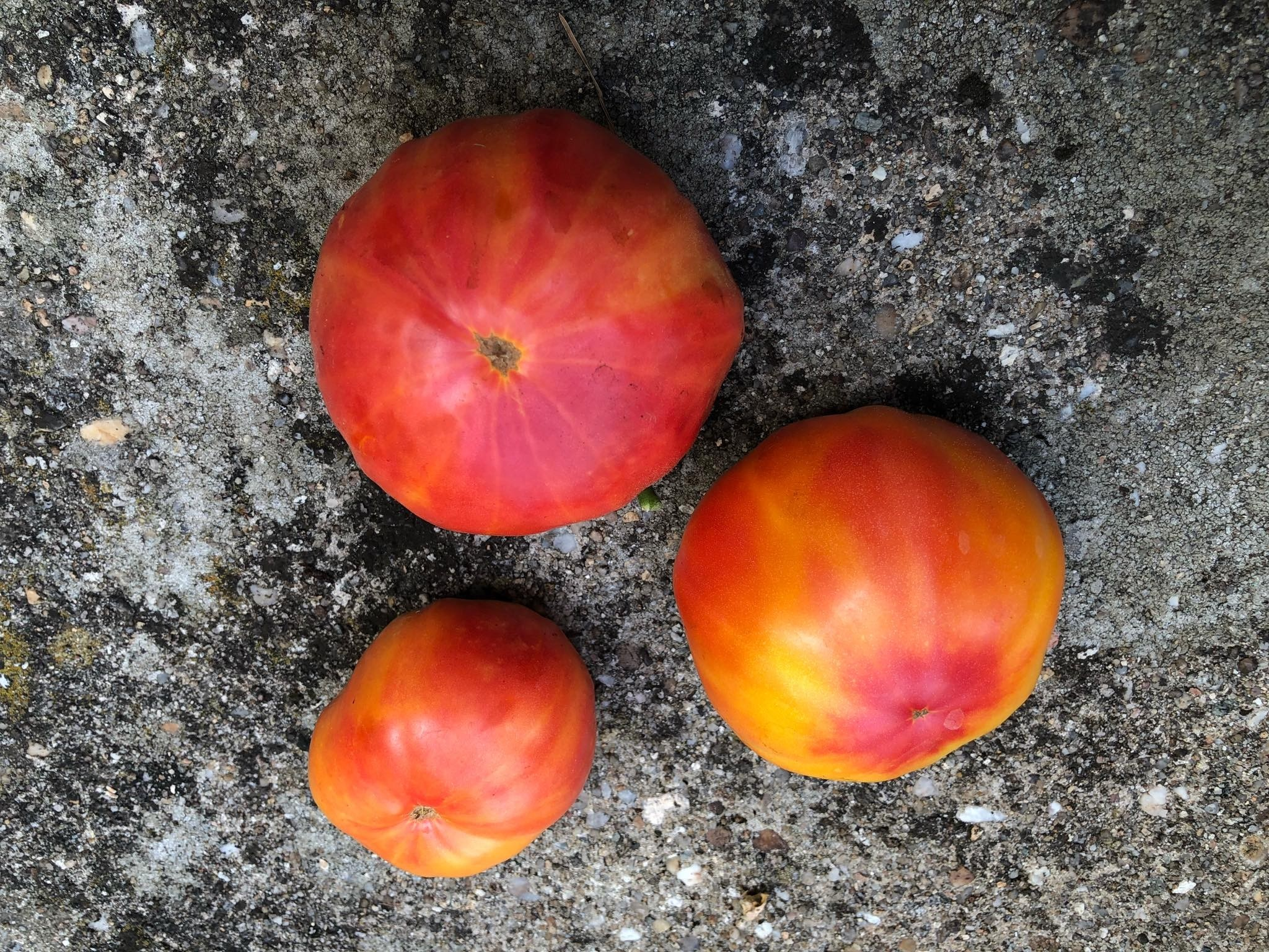 Tomate Mary Robinsons German Bicolor 10 Samen