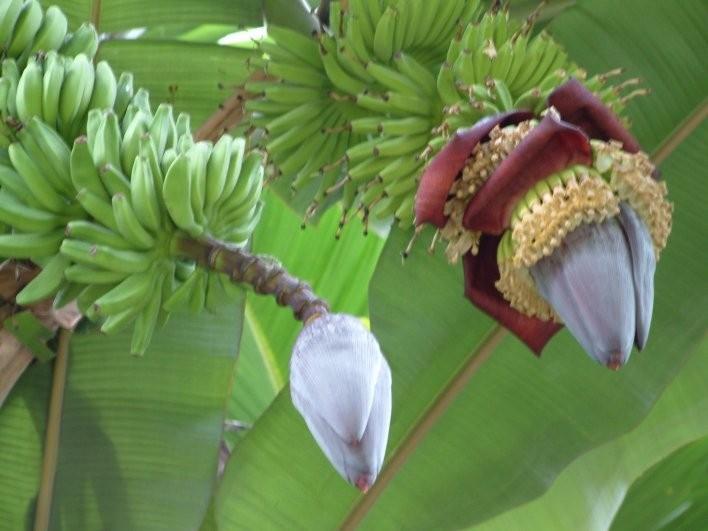 Dessertbanane -Musa × paradisiaca- 10 Samen
