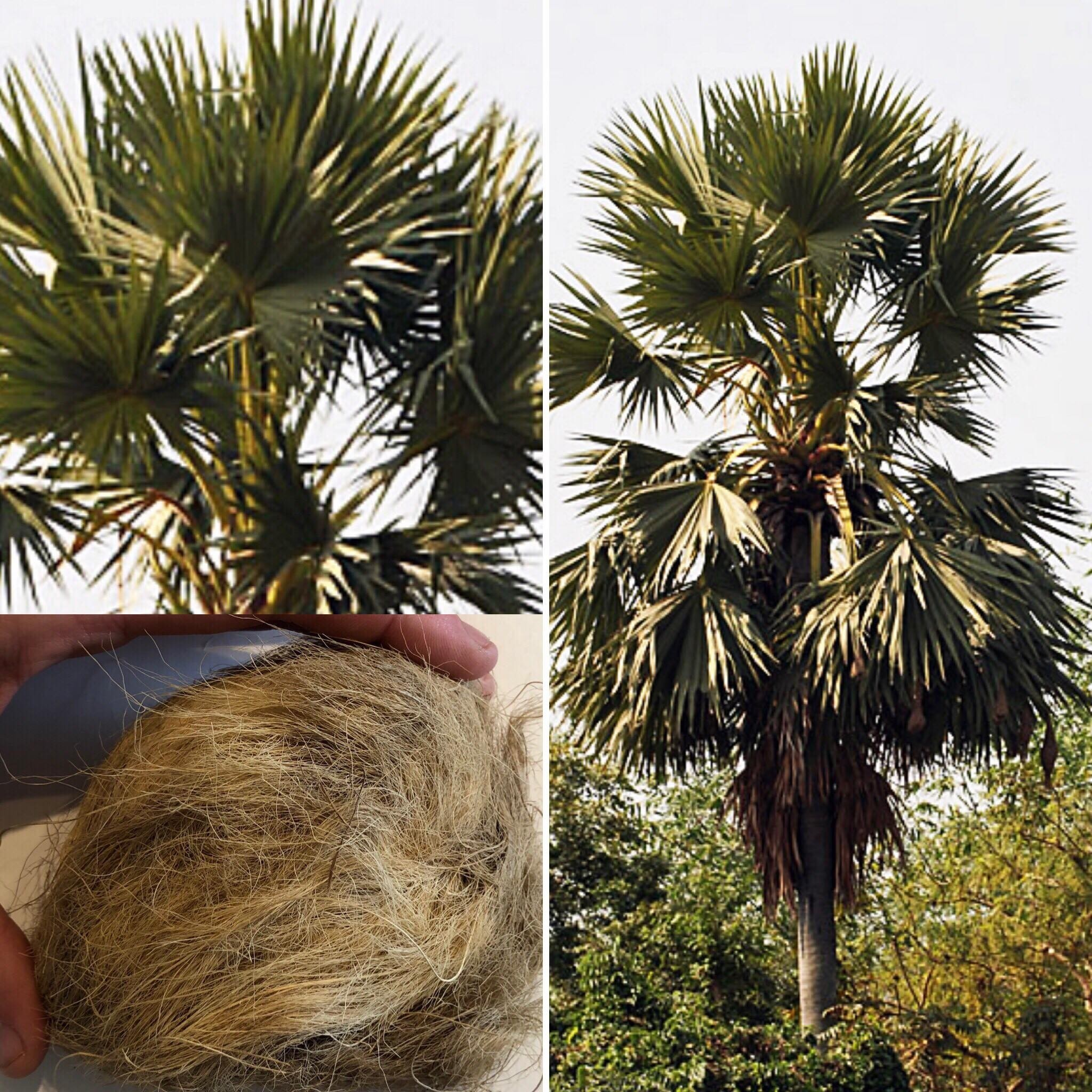 Palmyra-Palme -Borassus flabellifer- 1 Großer Samen