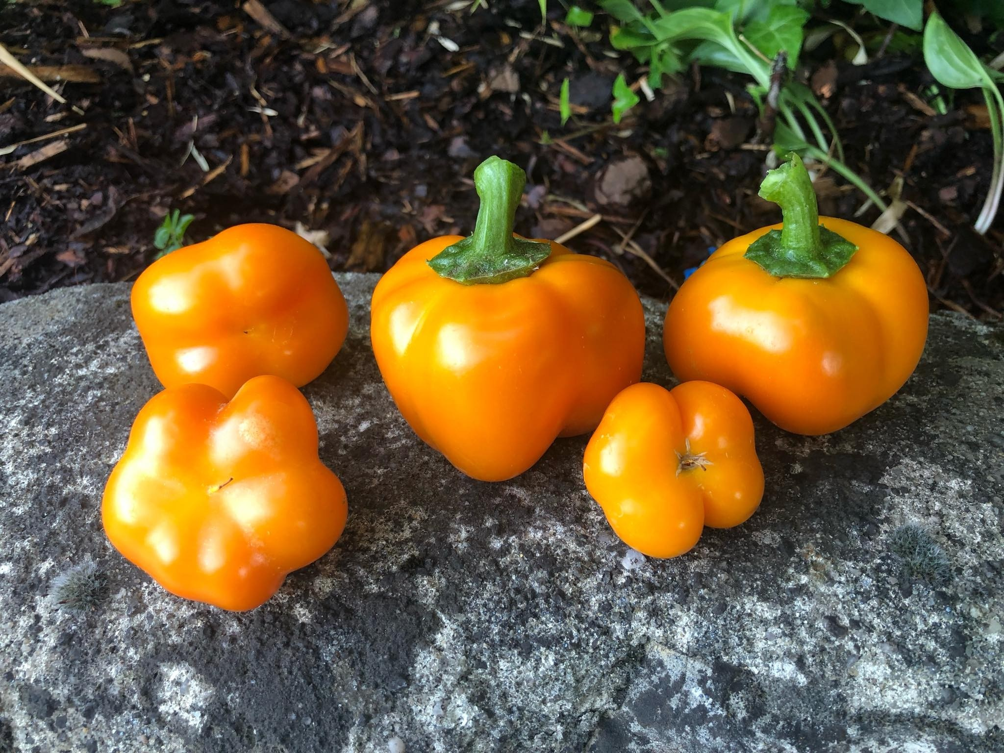 Riesen Tomatenpaprika Gelb 10 Samen (Paradeiser)