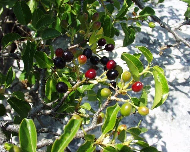 Steinweichsel -Prunus mahaleb- 30 Samen