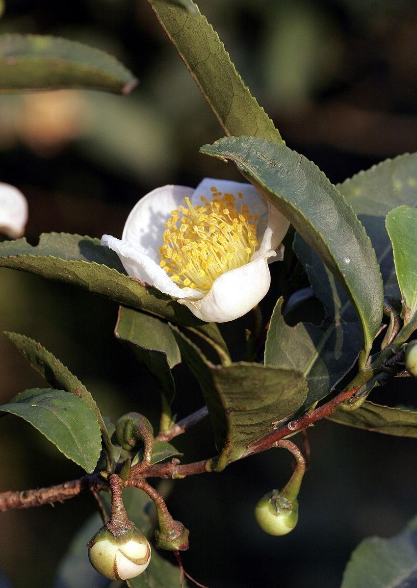 Teebaum  -Camelia sinensis 5 Samen