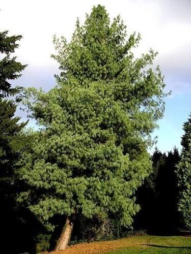 Tränen Kiefer -Pinus wallichiana- 10 Samen