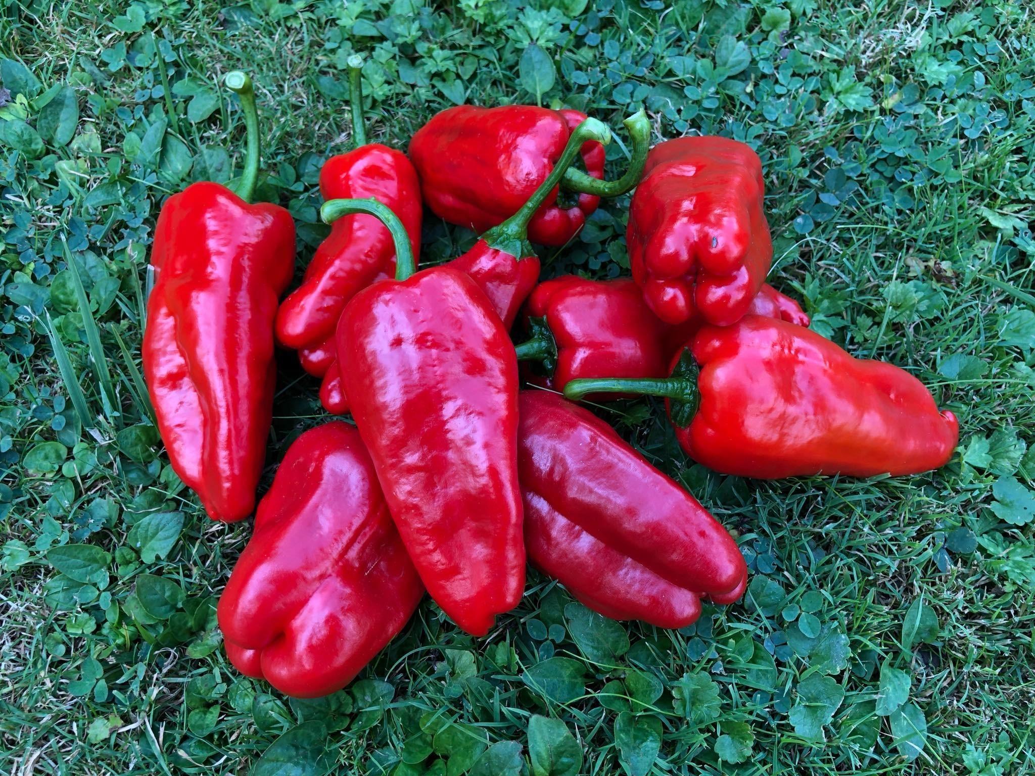 Ungarische Chili 10 Samen