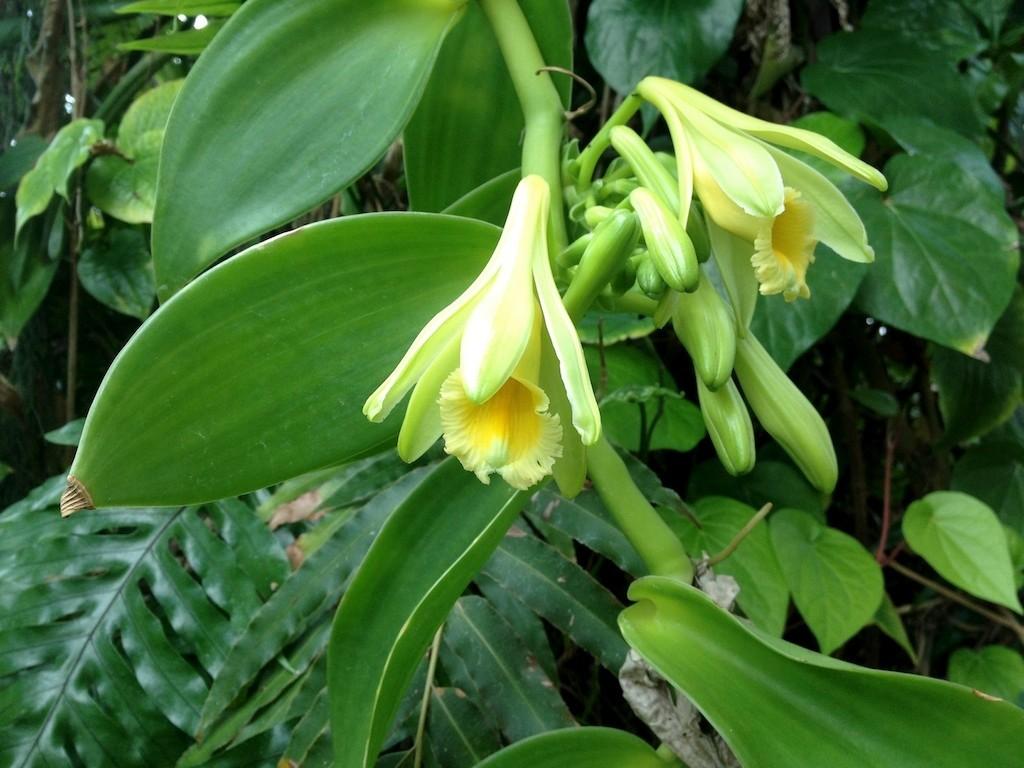 Echte Vanille -Vanilla planifolia- Ableger