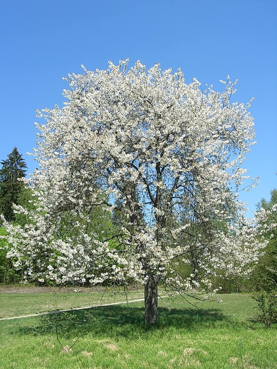 Vogelkirsche -Prunus avium- 5 Samen