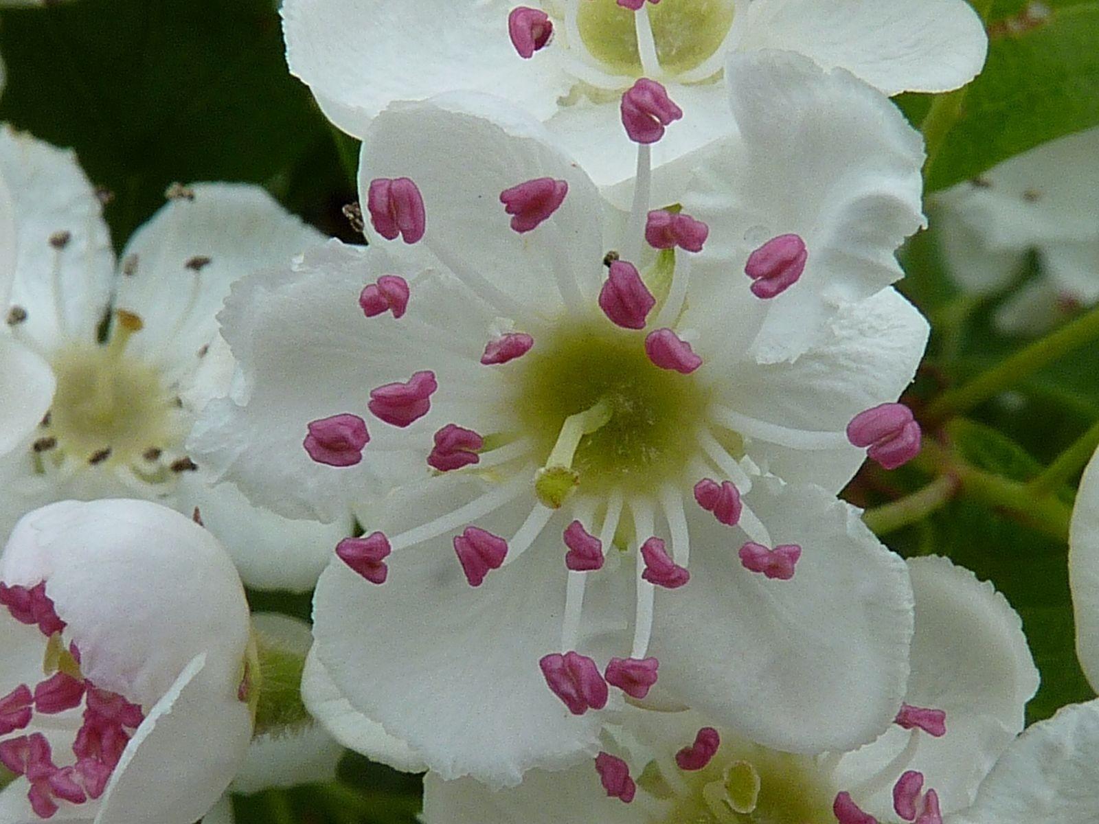 Eingriffeliger Weißdorn -Crataegus monogyna- 25 Samen