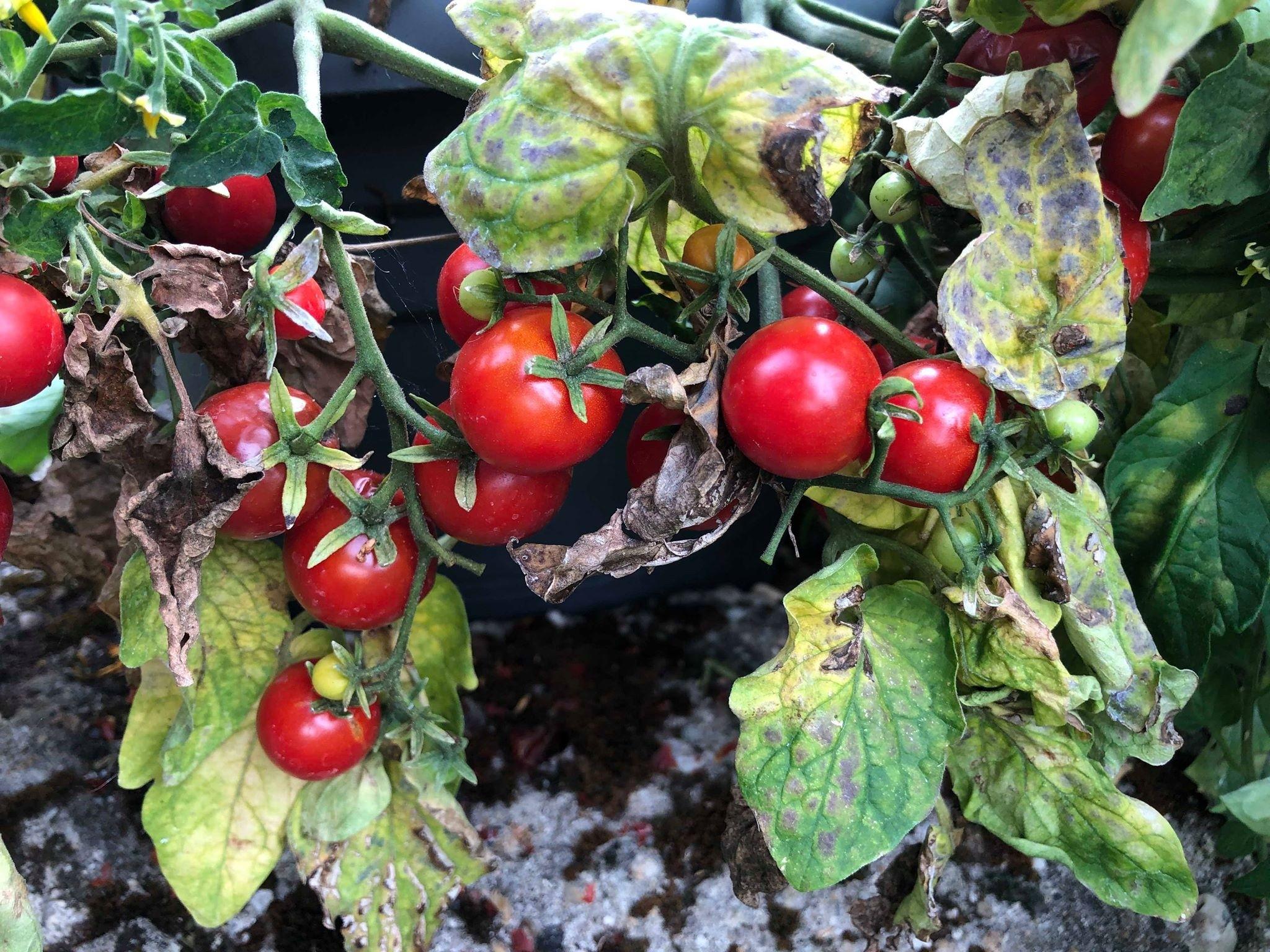 Wild Tomate  'La Palma' 10 Samen