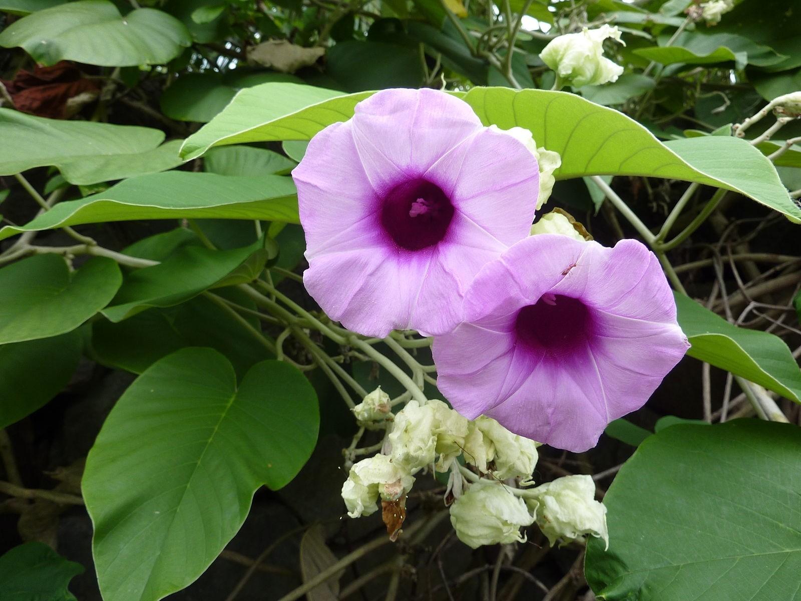 Woodrose -Argyreia nervosa- 100 Samen