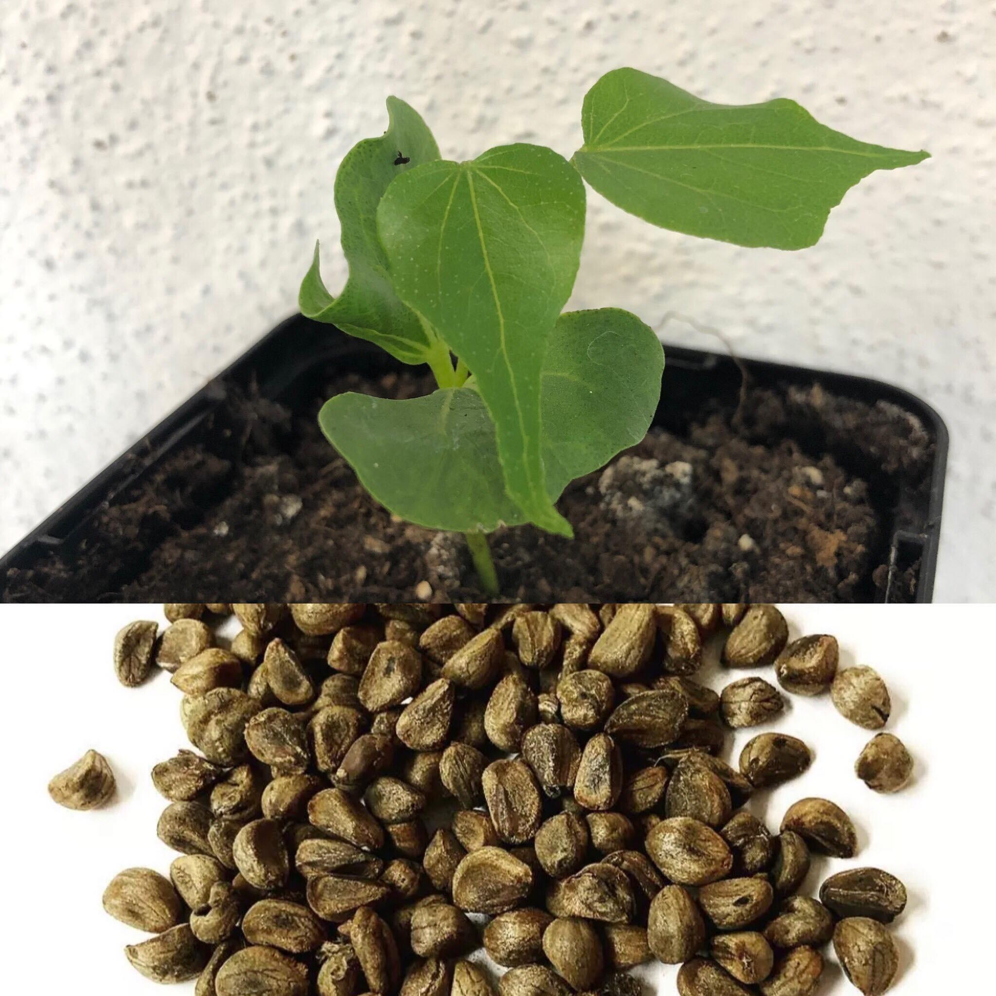 Woodrose -Ghana Strain- (Argyreia Nervosa Speciosa)  1000 Samen