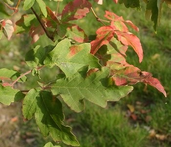 Zimtahorn -Acer griseum- 10 Samen