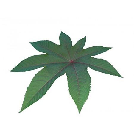 Ricinus -Ricinus communis-  1 kg Saatgut