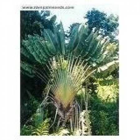 Baum des Reisenden -Ravenala madagascariensis- 1000 Samen