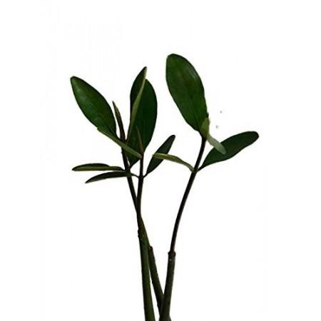 Mangroven -Rhizophora mangle- 10 Samen