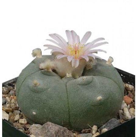 Lophophora -diffusa var. Koehresii- 50 Samen