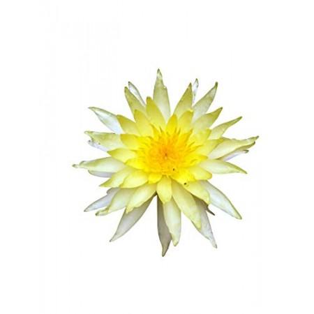 Gelbe Seerose -Nymphaea- 10 Samen