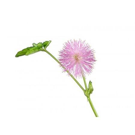 Echte Mimose -Mimosa pudica- 1000 Samen